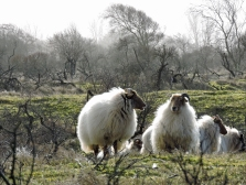 Sheep protected landscape